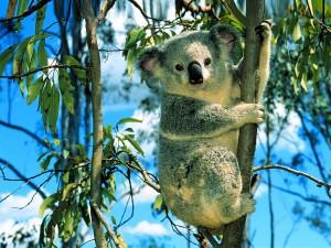 Mais c'est quand même mignon, un koala.